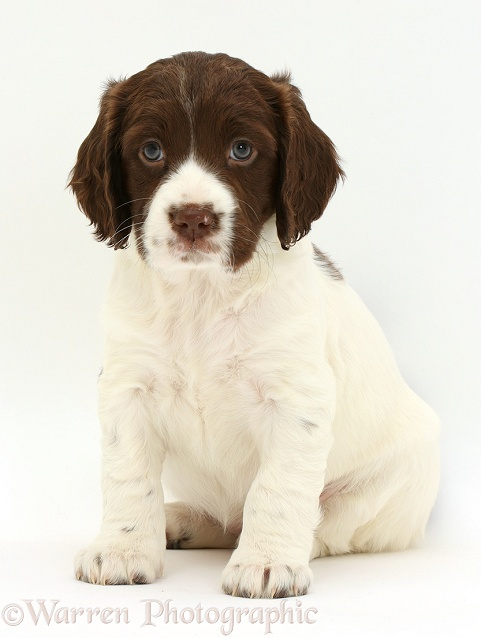 Brown-and-white Springer Spaniel puppy, 6 weeks old, sitting, white background