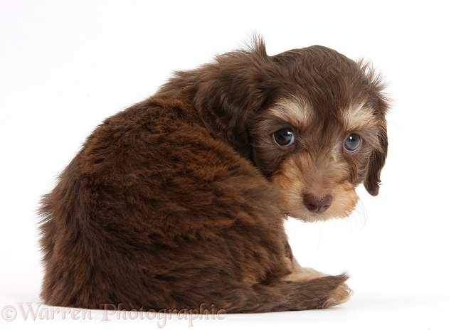 Chocolate bicolour Daxie-doodle pup, 6 weeks old, looking over shoulder, white background
