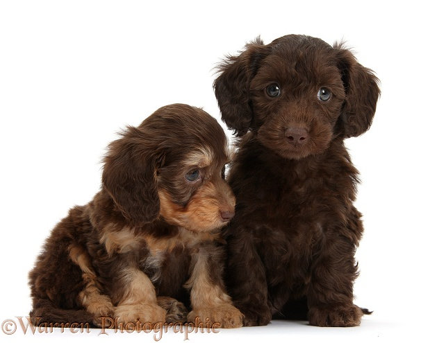 Two cute chocolate and bicolour Daxie-doodle pups, 6 weeks old, white background