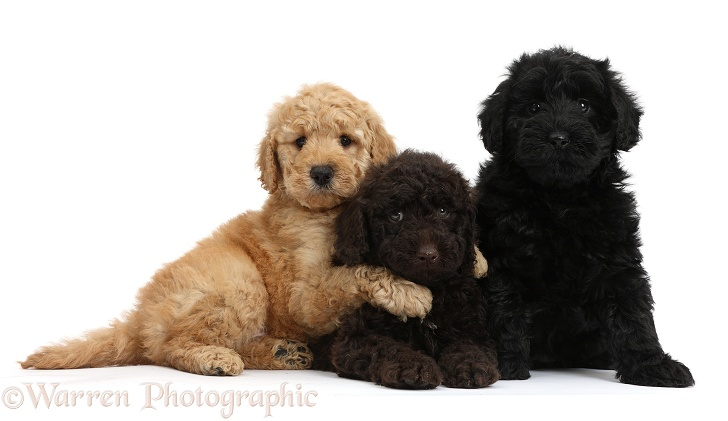 Three cute Toy Goldendoodle puppies, one golden, one chocolate and one black, white background