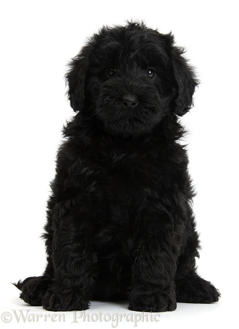 Cute black Toy Goldendoodle puppy, white background