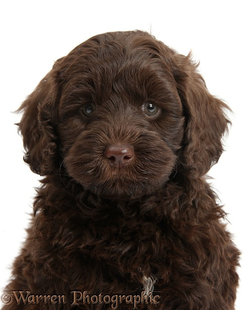 Cute chocolate Toy Goldendoodle puppy, white background