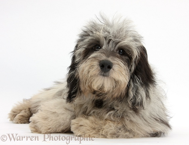 Fluffy black-and-grey Daxie-doodle puppy, Pebbles, lying with head up, white background