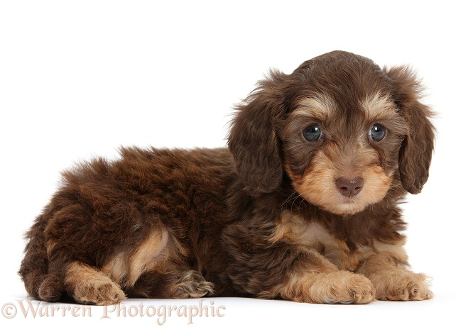 Chocolate bicolour Daxie-doodle pup, 6 weeks old, white background