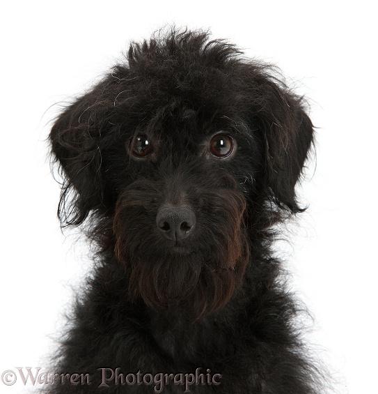 Dog: Black Labradoodle bitch photo WP45150