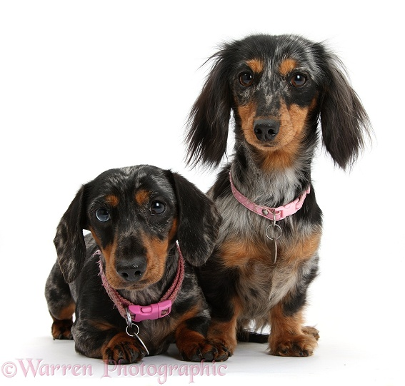 Two Dachshunds with collars on, white background