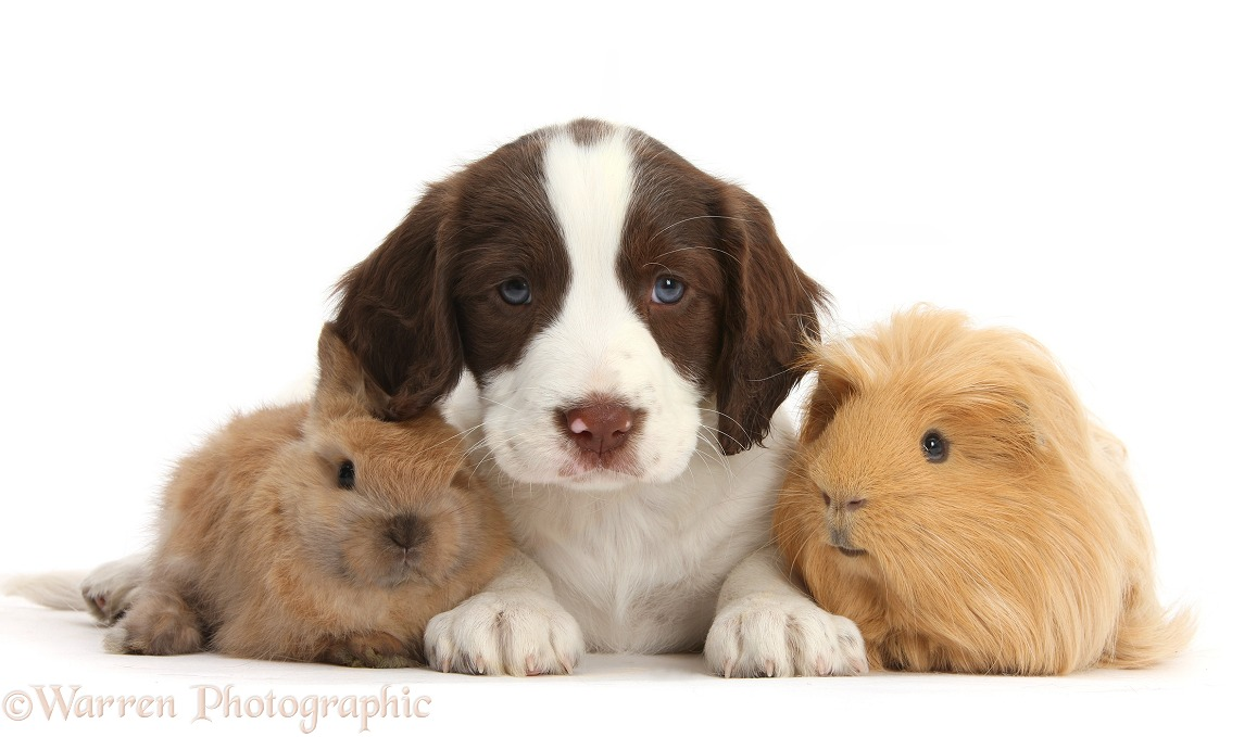 Working English Springer Spaniel puppy, 6 weeks old, sitting with baby rabbit and ginger Guinea pig, white background