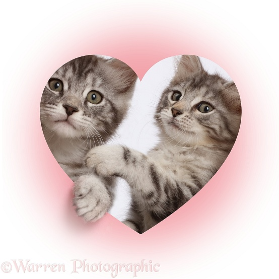Silver tabby kittens, Freya and Blaze, 9 weeks old, looking through a pink heart