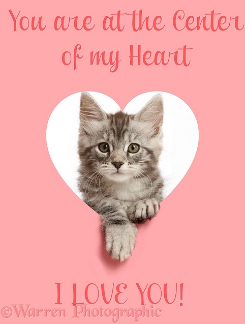 Silver tabby kitten, Blaze, 9 weeks old, looking through a pink heart