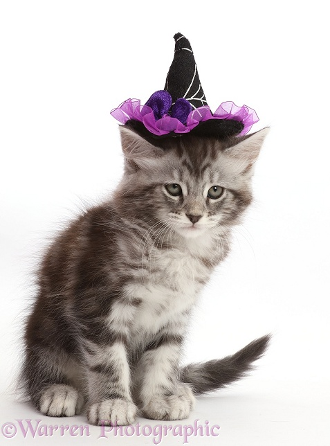 Silver tabby kitten, Blaze, 8 weeks old, wearing a witch's hat, white background