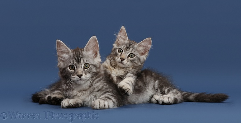 Silver tabby kittens, Freya and Blaze, 10 weeks old, lounging on dark blue background