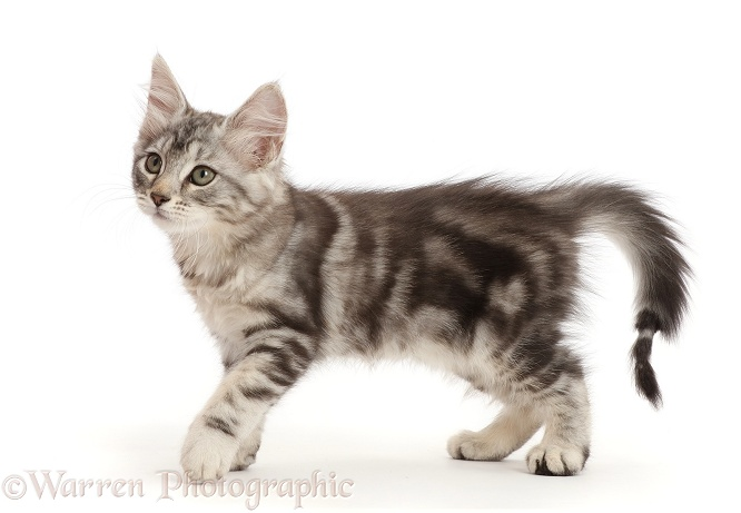 Silver tabby kitten, Freya, 10 weeks old, with damaged tail, shaven after a visit to the vet, white background