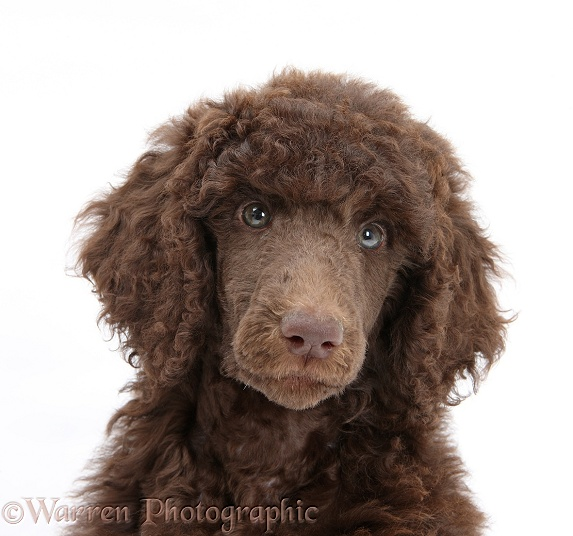 Chocolate Standard Poodle pup, Tara, 8 weeks old, white background