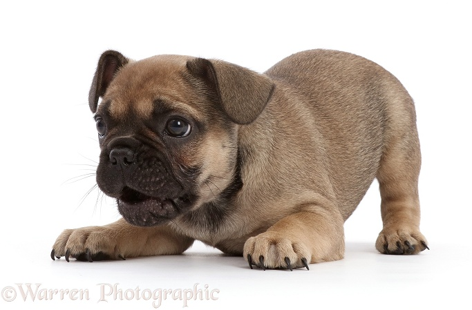 French Bulldog puppy, 6 weeks old, in play-bow, white background