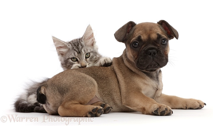Silver tabby kitten, Freya, 11 weeks old, and French Bulldog puppy, 6 weeks old, white background