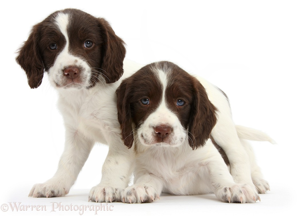 Working English Springer Spaniel puppies, 6 weeks old, white background