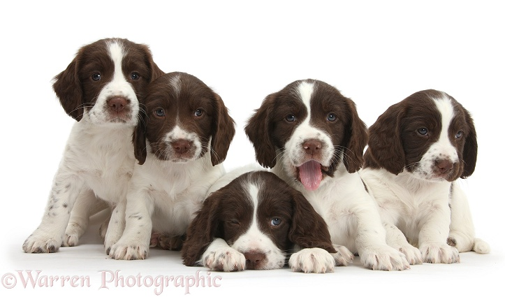 Five Working English Springer Spaniel puppies, 6 weeks old, white background
