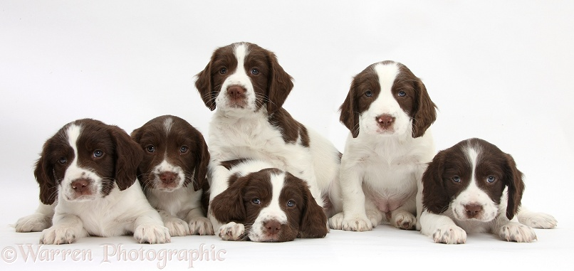 Six Working English Springer Spaniel puppies, 6 weeks old, white background