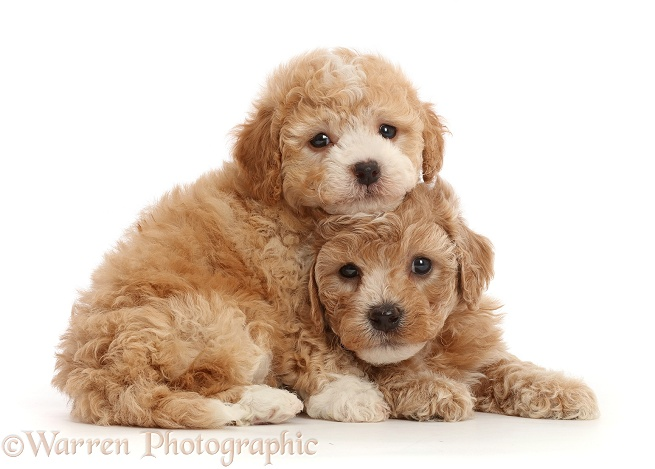 Cavapoochon puppies, 6 weeks old, white background