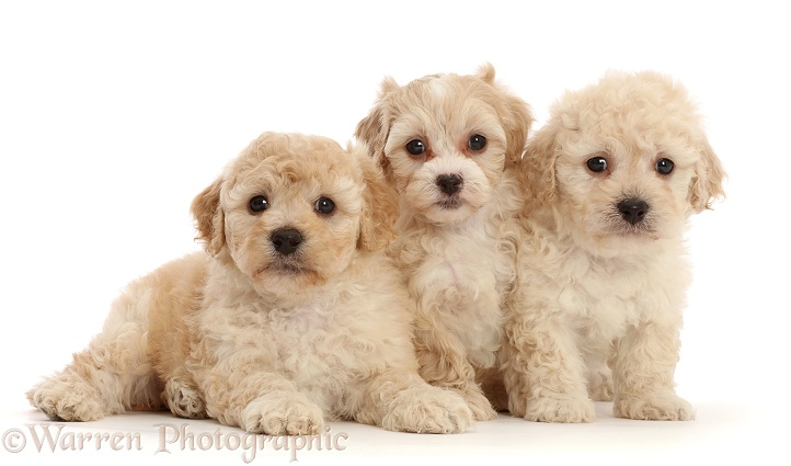 Three Cavapoochon puppies, 6 weeks old, white background
