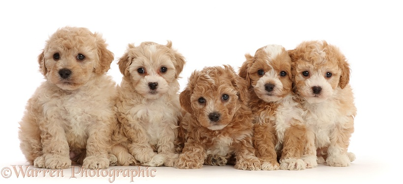 Five Cavapoochon puppies, 6 weeks old, white background