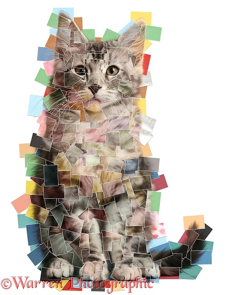 Silver tabby kitten, Blaze, 3 months old, made up of over 200 photos, pieced together, white background