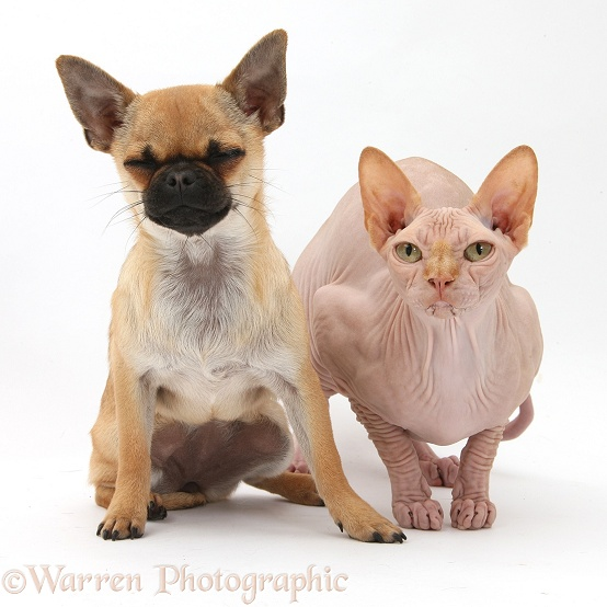 Chug (Pug x Chihuahua) bitch and Sphynx cat, white background