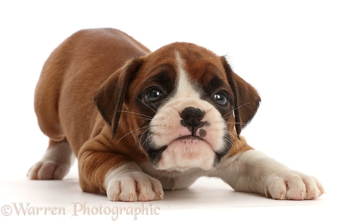 Playful Boxer puppy, 6 weeks old, in play-bow, white background