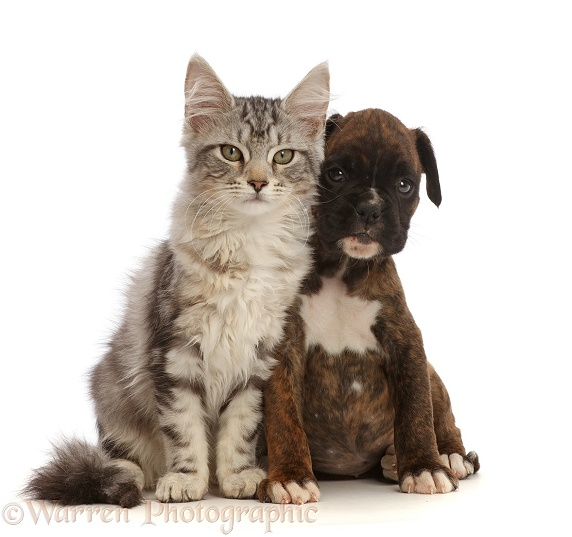 Silver tabby kitten, Freya, 3 months old, and Boxer puppy, 6 weeks old, white background