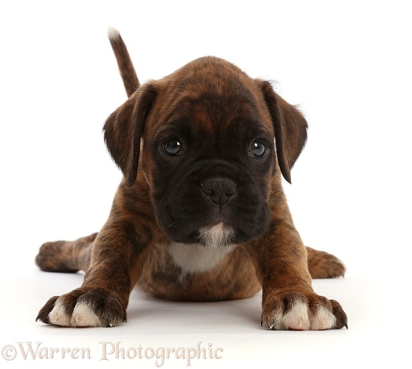 Boxer puppy, 6 weeks old, stretching out, white background