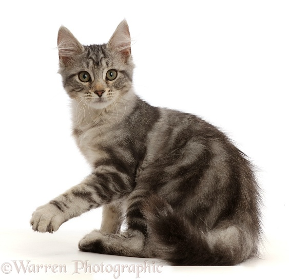 Silver tabby kitten, Freya, 3 months old, pointing, white background