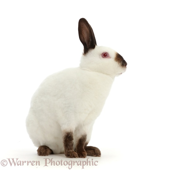 Sable-point rabbit, white background