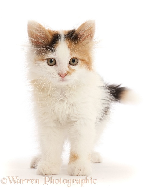 Calico kitten, 9 weeks old, white background