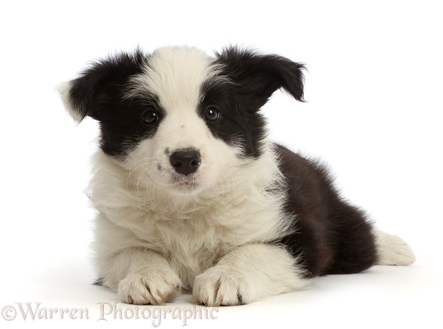 Black-and-white Border Collie puppy, 7 weeks old, white background