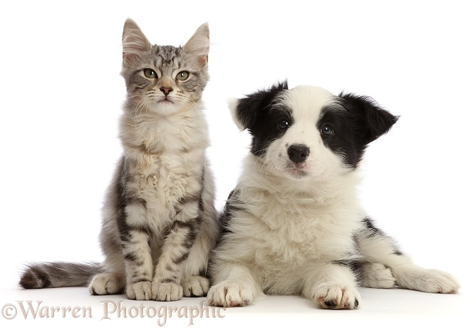 Silver tabby kitten, Freya, 3 months old, and black-and-white Border Collie puppy, 7 weeks old, white background