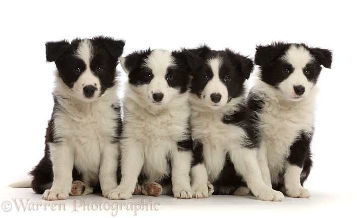 Four black-and-white Border Collie puppies, 7 weeks old, white background