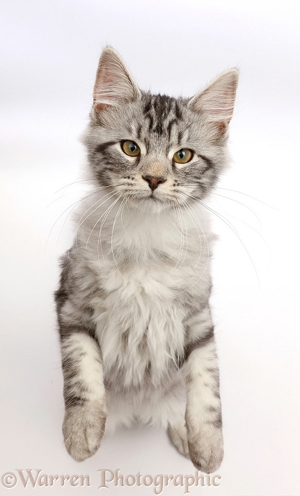 Silver tabby kitten, Blaze, 3 months old, standing and looking up, white background