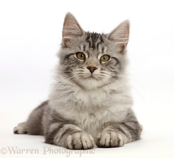 Silver tabby kitten, Blaze, 3 months old, lying with head up, white background
