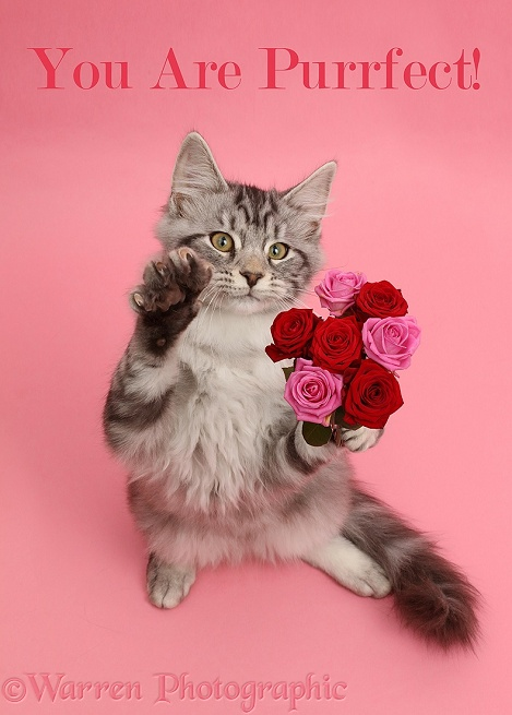 Silver tabby kitten, Blaze, 3 months old, with a bunch of flowers on pink background