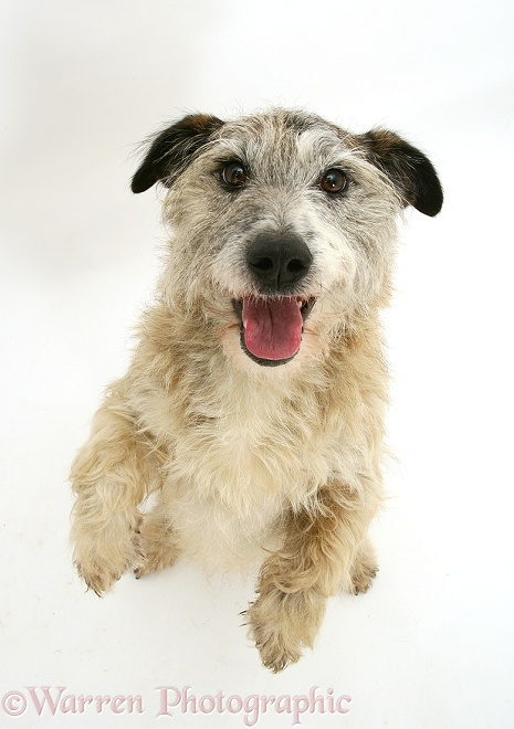 Patterdale x Jack Russell Terrier, Jorge, standing up and putting his paws up, from above, white background