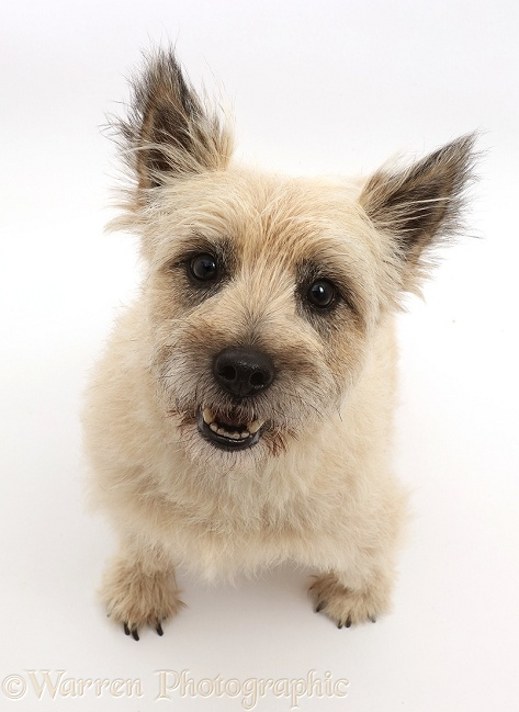 Cairn Terrier dog, Cara, sitting and looking up, white background