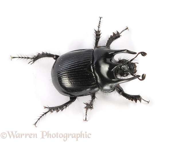 Minotaur Beetle (Typhaeus typhoeus) male, white background
