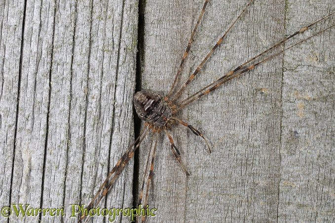Harvestman (Dicranopalpus ramosus) on a wooden gate post