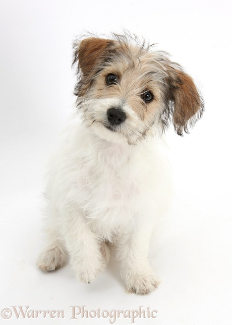 Bichon Frise x Jack Russell Terrier puppy, Bindi, 12 weeks old, sitting, white background