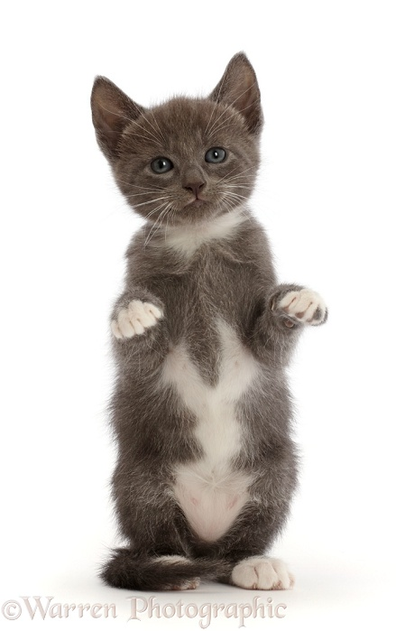 Blue-and-white kitten with paws up, white background