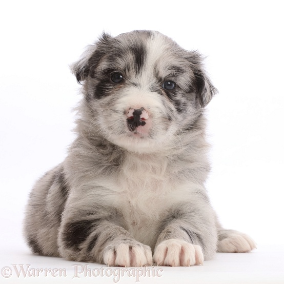 Merle Border Collie puppy, lying with head up, white background