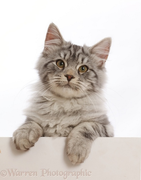Silver tabby kitten, Blaze, 4 months old, with paws over, white background