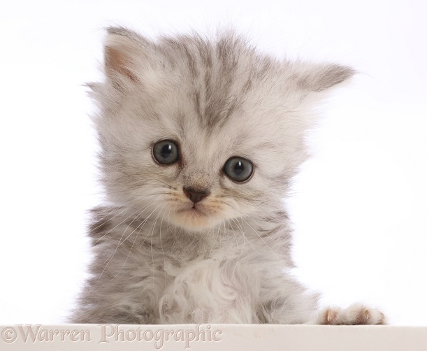 Silver tabby Persian-cross kitten, with paws over, white background