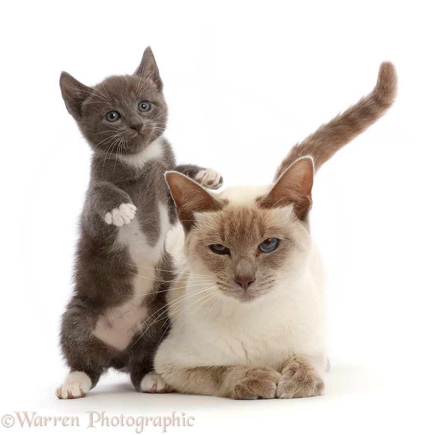 Blue bicolour kitten, with her Birman-cross mother, white background