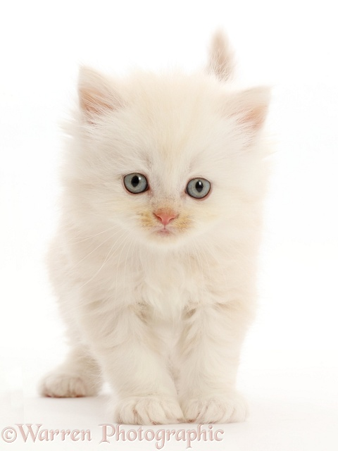 Cream Persian-cross kitten, white background
